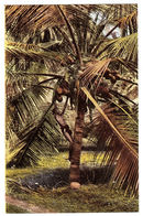 CEYLON - SRI LANKA -  Picking Cocoanuts, Ceylon - Sri Lanka (Ceylon)