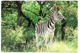 Tarjeta Postal De Sudafrica Circulada 2000 Zebra - Sudáfrica