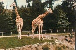 CARTE POSTALE DE LYON - PARC DE LA TETE D OR - LES GIRAFES  SAMSON ET DALILA - Girafes