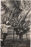 Singapore - Champion Coconut Tree - Singapore