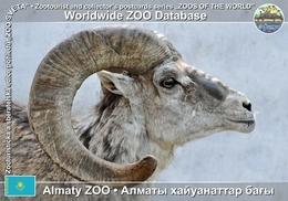 252 Almaty ZOO, KZ - Tian Shan Argali (Ovis Ammon Karelini) - Kazakhstan