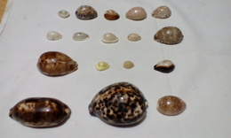 28 Cypraea Différents - Coquillages