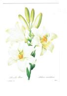 Cpm - Thème Fleurs - Lis Blanc  Lilium Candidum - Redouté Pierre Joseph - Illustration - Flowers