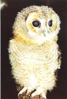 BABY TAWNEY OWL, ANDOVER, HAMPSHIRE, ENGLAND. UNUSED POSTCARD As6 - Birds