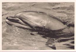 DAUPHIN - Delfini
