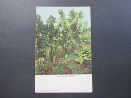 AK 1910 / 20er Jahre Platanales, Tenerife. Nobrega's English Bazar No. 32 - Bäume
