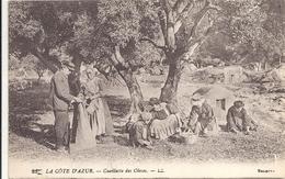 C PA  Cueillette Des Olives En Provence - France