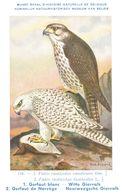 Musée Royal D Histoire Naturelle De BELGIQUE - 116 - Gerfaut Blanc - Witte Giervalk - Birds