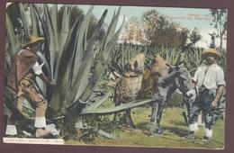 Mexico *extraccion Del Tlachique * La Tlachique Est Une Boisson Alcoolisée * Extraction De Tlachique  Mexique México  * - Mexico