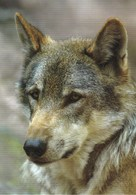 Wolf - Loup - Lupo - Lobo - Animal - Animaux - Fauna - Faune - Dogs