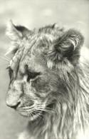 LION * ANIMAL * ZOO & BOTANICAL GARDEN * BUDAPEST * KAK 0347 793 * Hungary - Leones
