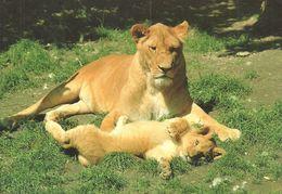 LION * BABY LION * ELEPHANT * ANIMAL * ZOO & BOTANICAL GARDEN * Budapest Zoo 02 04 * Hungary - Lions