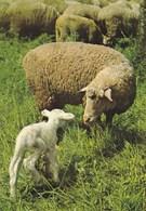 Sheep - Mouton - Schapen - Schaf - Pecora - Ovelha - Oveja - Animal - Animaux - Fauna - Faune - Animaux & Faune