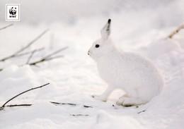 Forest Rabbit - Hare - Lapin - Hase - Konijn - Coniglio - Conejo - Coelho - Animal - Fauna - Faune - WWF Panda - Animaux & Faune