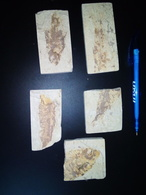 BOX0202 5 Plaques De Poissons Fossilisés - Fossiles