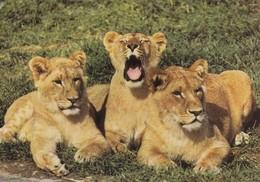 Lion - Leeuw - Löwe - Leone - Leão - León - Animal - Animaux - Fauna - Faune - Lions