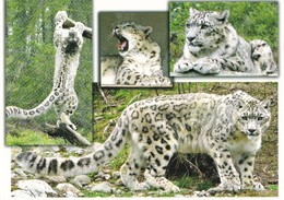 Snow Leopard - Léopard Des Neiges - Sneeuwluipaard - Leopardo Delle Nevi - Leopardo Da Neve - Ähtäri Animal Park - Zoo - Animaux & Faune