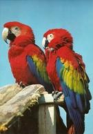 LORO CACATUA - Vögel
