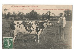 SAINTE GENEVIEVE , FERME DE LA FEVRERIE , VACHE PURE CONTENTINE INSCRITE AU HERD BOOK NORMAND - France