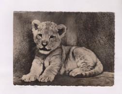 CPM PHOTO LIONCEAU , AFRIQUE - Lions