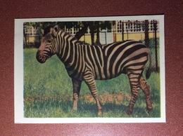 Vintage USSR Russian Postcard IZOGIZ 1959 By Color Photo Ignatovich. Zebra. - Zebra's