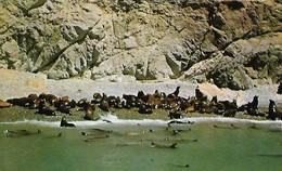 CARTE POSTALE ORIGINALE DE 9CM/14CM : SEAL ROCKS NEAR AVALON SANTA CATALINA ISLAND SEA LIONS CALIFORNIA  USA - Los Angeles