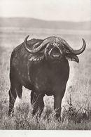AFRICAN BUFFALO - Stieren
