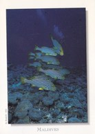 Maldives - Oriental Sweetlips Fish - Maldives