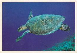 Maldives - Hawksbill Turtle - Maldives