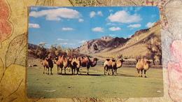 Mongolia. Camel  - 1970s -    - Old Postcard - Mongolia