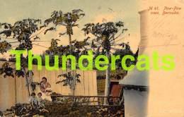 CPA  BERMUDA PAW PAW TREES - Bermudes