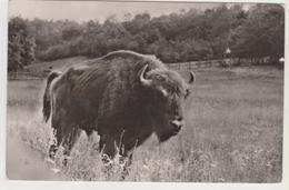BULL BISSON, TAURUS, TORRO,  ANIMALS, FAUNA POST CARD ROMANIA,  HATEG ZIMBRU IN NATURAL RESERVATION - Stieren