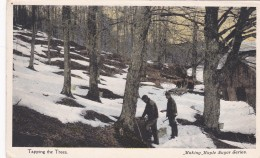 TAPPING TREES FOR  MAPLE SUGAR PRODUCTION - Agriculture