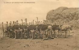 Afrique Du Sud - A Group Of Ostriches ( Oudtshoorn ) - Afrique Du Sud