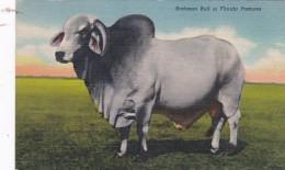 Brahman Bull In Florida 1952 Curteich - Stieren