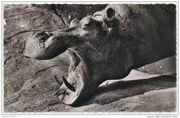 CPSM Tête D'Hippopotame (Afrique) (Cl. Galitzin) N°1163 - Hippopotames