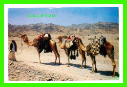 SHARM EL SHEIKI, EGYPT - A GROPUP OF CAMELS ON THEIR TO THE CITY -  S. F. D. - - Sharm El Sheikh