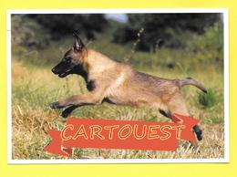 Chien - Hund - Dog - BELGIAN Shepherd MALINOIS - CANE - - Chiens