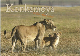 KONKAMOYA, Kafue National Park - Zambia - Carte Postale écrite Au Verso. - Lions