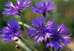 Flowers - Fleurs - Bloemen - Blumen - Fiori - Flores - WWF Panda Logo - Ruiskaunokki - Cornflower - Fleurs