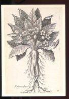 CPM Neuve Illustrateur T. De BRY Gravure D'après Nature Mandragora Fémina - Plantes Médicinales