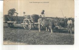Les Vendanges En Gironde (attelage De Boeufs) - France