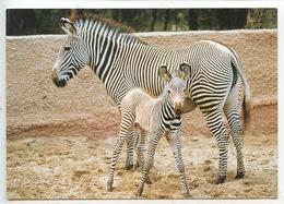 Zèbre De Grevy : Mère Et Son Petit - Zoo De La Palmyre (n°49 Photo Thierry Petit) - Zèbres