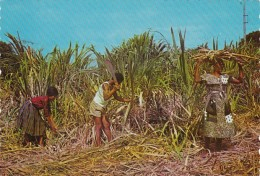 Antigua Natives Cutting Sugar Cane - Antigua & Barbuda