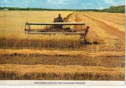Swathing Oats On The Canadian Prairies - Cultivation