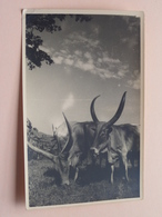 ANIMALS Identify ( Photo Copyright By ERIC WEYMEERSCH - KABGAYI Ruanda ) Anno 19?? ( Zie Foto ) ! - Ruanda-Urundi