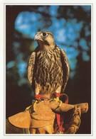 FALCON FALCONRY DUBRAVA CROATIA - Uccelli