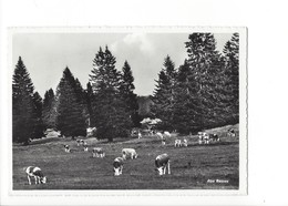 20298- Aux Rasses Troupeau De Vaches + Beau Cachet Les Rasses 1957 (format 10X15) - VD Vaud