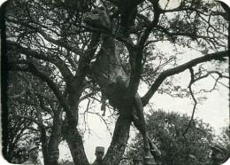 France WWI Cheval Projete Dans Un Arbre Par Un Obus Ancienne Photo 1917 - War, Military