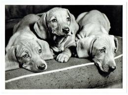 Photo Presse. 3 Chiens. Teckels. Foto Philips. - Foto